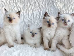 Beautiful Pedigree Kittens