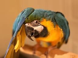 Cute Hyacinth Macaw Well Trained Need New Home