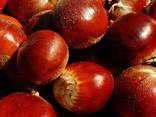 Fresh chestnut - photo 1
