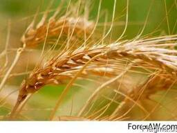 Soft Milling Wheat 11,5% and 12,5% pro, Feed Wheat - photo 1