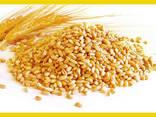 Wheat - photo 1